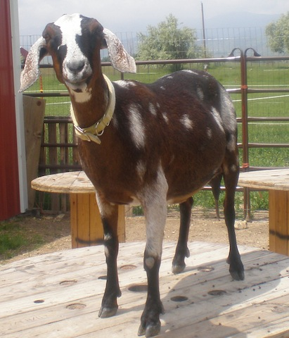From 4-H goat project to cheese school