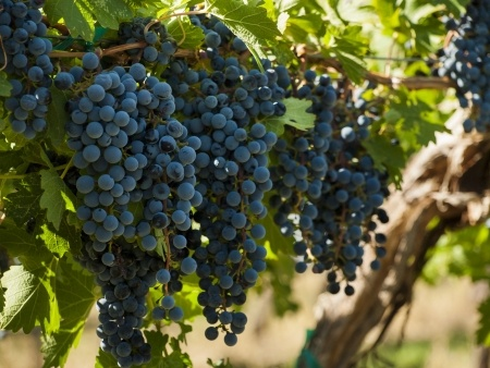 grapes15134951_s